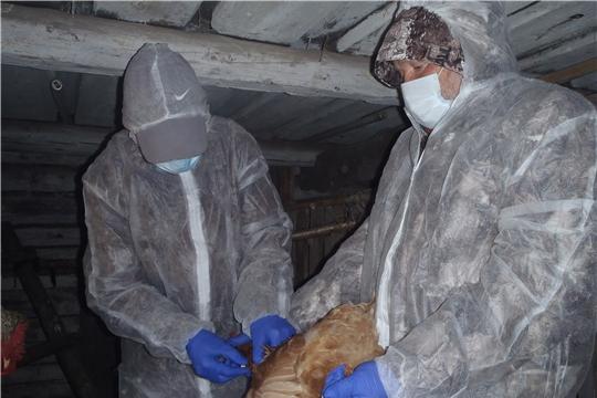 Профилактическая иммунизация птиц продолжается