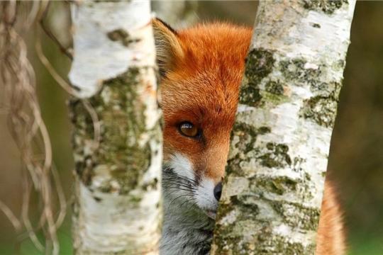 Зарегистрирован очаг бешенства лисицы