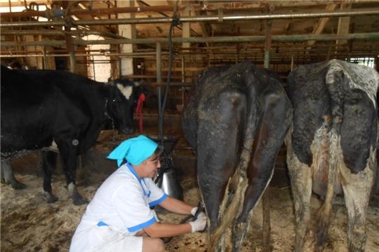 На базе ООО «ОПХ «Простор» в молочно товарной ферме  состоялся районный конкурс мастеров машинного доения коров и операторов по искусственному осеменению коров и телок
