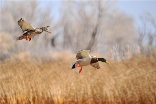 Напоминание охотникам о гриппе птиц