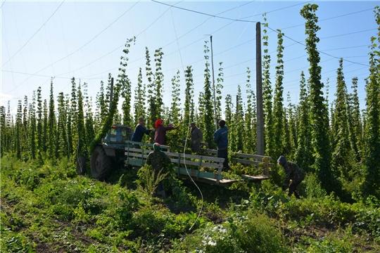 В Вурнарском районе убирают хмель