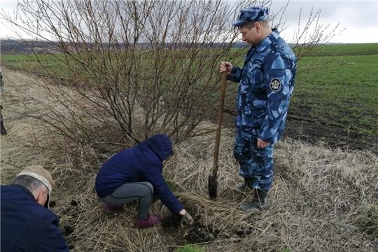 600 молодых саженцев сосны высажено в Алатырском районе