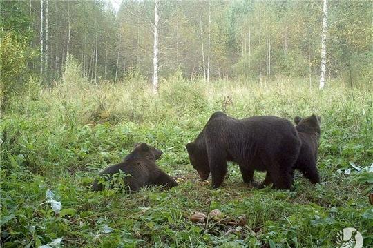 На Алатырском участке заповедника «Присурский» отмечено присутствие медведя