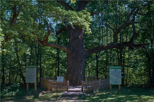 Поддержите древний чувашский дуб в национальном конкурсе «Российское дерево года 2020»