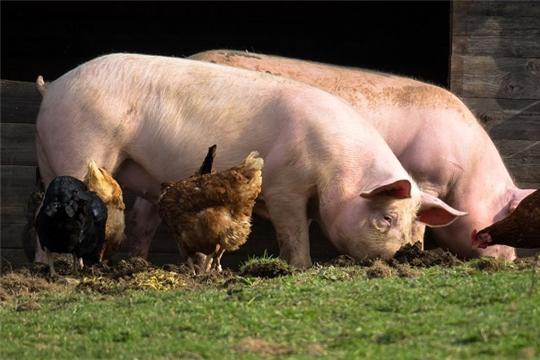 Эпизоотическая ситуация по африканской чуме свиней и гриппу птиц продолжает быть напряженной