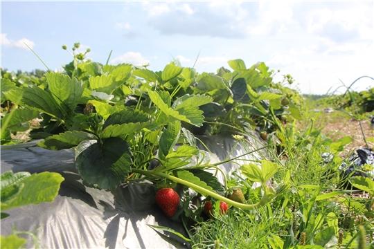 Глава администрации Чебоксарского района Николай Хорасёв посетил фермерское хозяйство Арины Платоновой