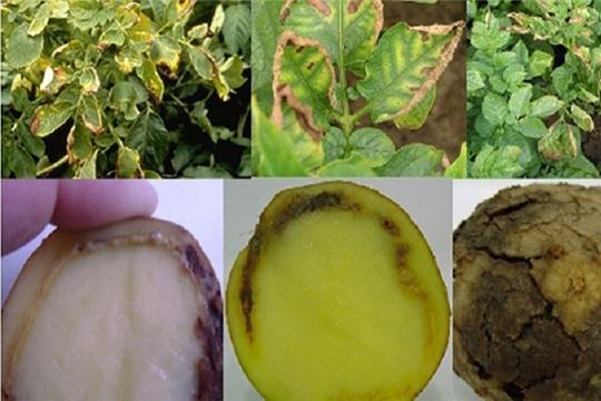 Специалисты Россельхозцентра рекомендуют проводить клубневый анализ картофеля
