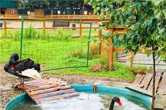 В Чебоксарах в зооуголке «Ковчег» у пары чёрных лебедей вылупились два птенца