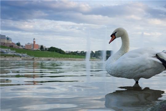 Лебеди с Чебоксарского залива проведут зиму в парке Николаева