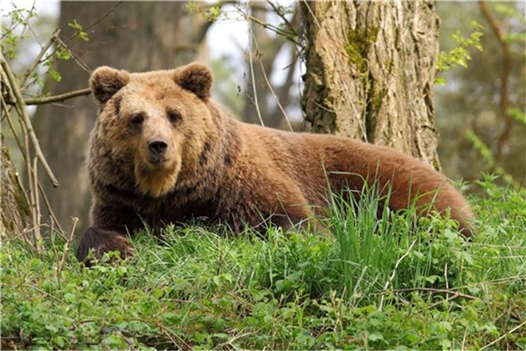 В Чувашии проведен учёт численности бурого медведя