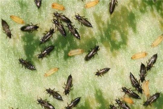 Специалистами Россельхозцентра отмечено заселение посевов зерновых культур трипсами