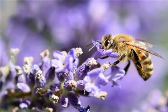 Минсельхоз Чувашии: аграрии должны оповещать пчеловодов об обработке полей пестицидами