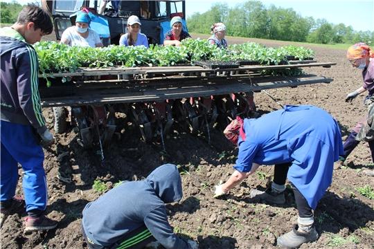 В крестьянско-фермерском хозяйстве Олега Шпакова  идет посадка капусты