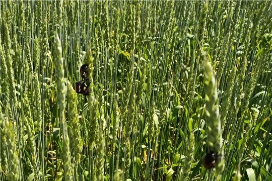 На полях Чувашии обнаружен хлебный жук-кузька