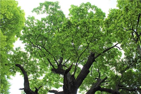 Чувашский дуб может стать главным деревом России
