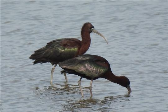 В Чувашии обнаружен новый для региона вид птиц – каравайка