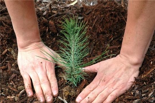 Весенние лесокультурные работы в Мариинско-Посадском лесничестве