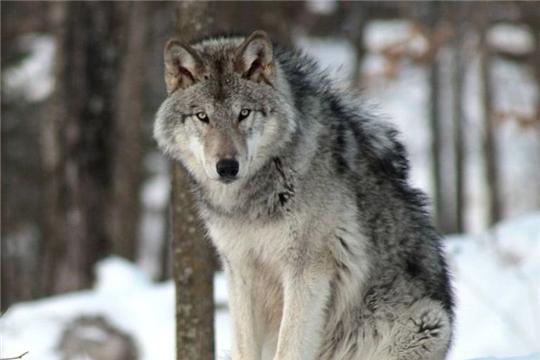 С начала 2020 года в Чувашии добыто 11 волков