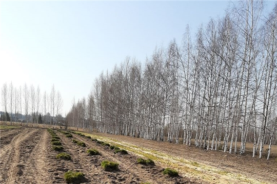 В Ибресинском лесничестве начались весенние лесокультурные работы