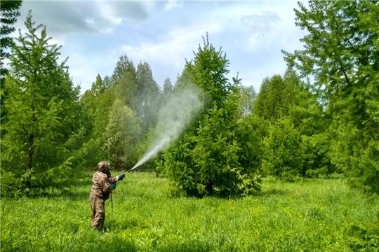 В Канашском лесничестве проводят работы по защите лиственницы от вредителей