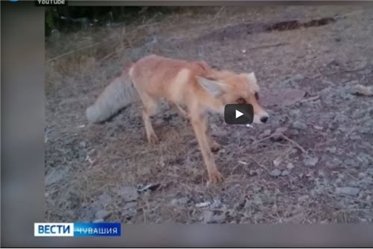 26 тысяч доз препарата от бешенства разложили по лесам Чувашии