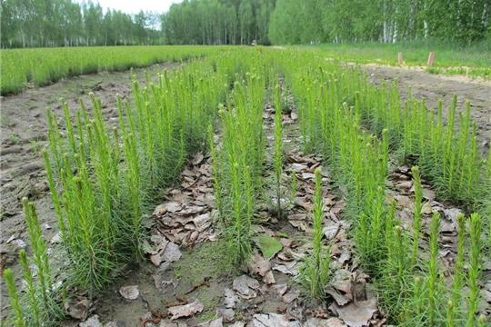 Уход за посевами и сеянцами в Ибресинском лесничестве