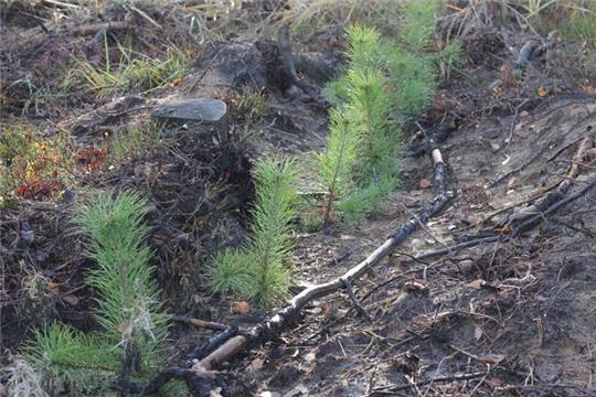 Чувашия в числе лучших в ПФО по созданию лесных культур