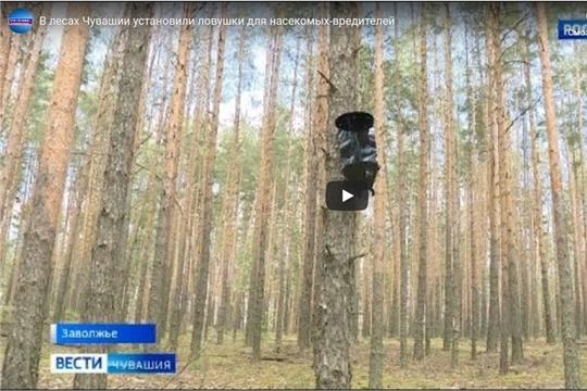 В лесах Чувашии установили ловушки для насекомых-вредителей