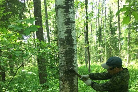 В Вурнарском лесничестве завершаются работы по государственному заданию на I полугодие текущего года