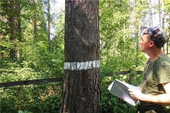 В Шемуршинском лесничестве провели обследование аттестованных плюсовых деревьев сосны обыкновенной