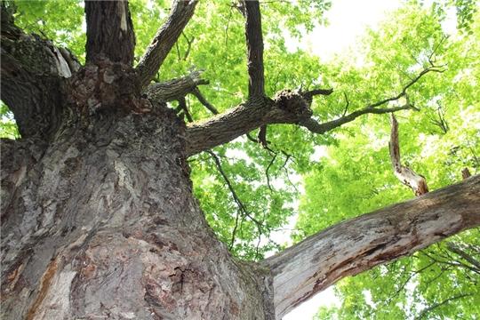 Географические культуры дуба - уникальный объект лесного семеноводства