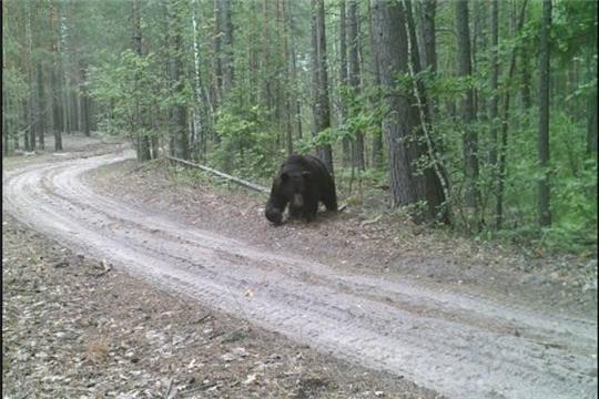 В Чувашии проходит учет численности бурого медведя