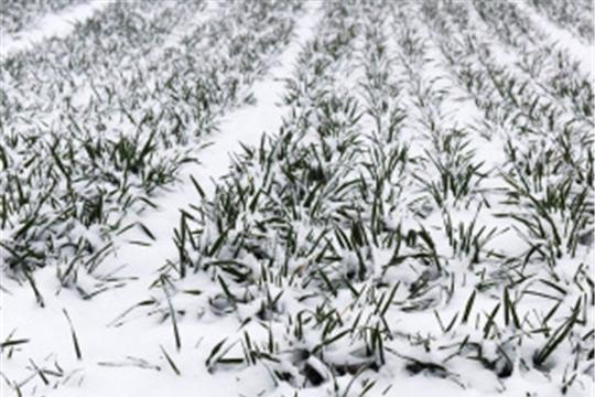 Росгидромет: озимые зерновые культуры находятся в хорошем и удовлетворительном состоянии на 78% посевной площади