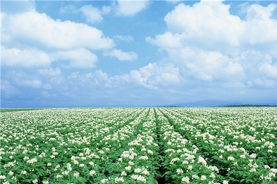 Росту производства картофеля, отмечают картофелеводы Чувашии, способствует работа по-новому