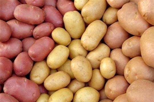 На выставке «Картофель-2020» можно приобрести семенной картофель