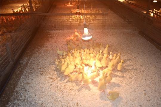 В нашей республике реализацией молодняка птицы занимаются 6 птицеводческих хозяйств