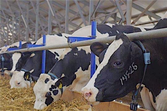 Производство молока  в Чувашии за январь-июнь 2020 года выросло на  4,9%