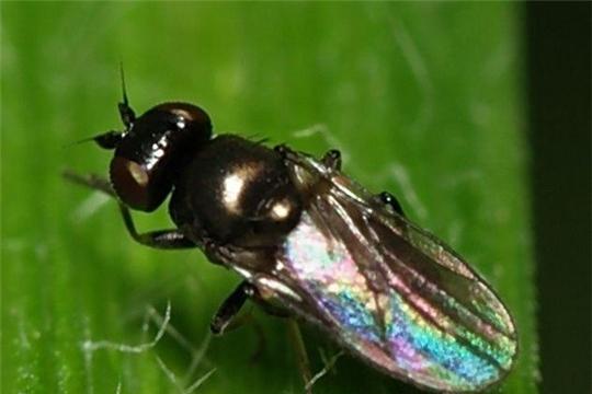 Шведская муха  может привести к гибели урожая озимых