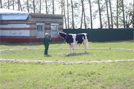 В АО «Чувашское» по племенной работе прошла ежегодная выводка быков-производителей