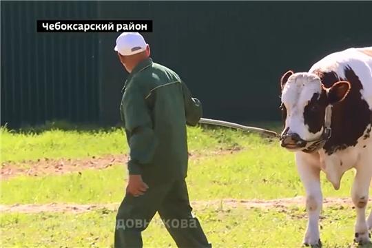 """В АО """"Чувашское"""" по племенной работе продемонстрировали лучших породистых быков-производителей"""