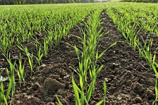 Площадь сева озимых зерновых культур превысила показатель прошлого года