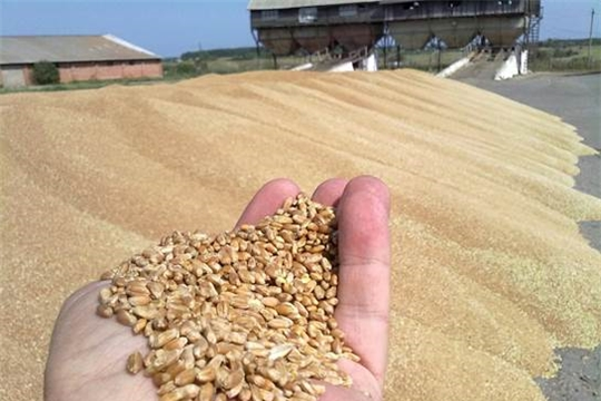 Валовой сбор зерна в республике превышает показатель прошлого года на 31,4%