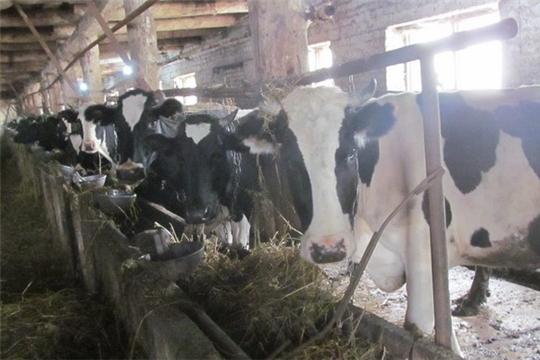 Животноводы Цивильского района готовятся к зимнему стойловому содержанию