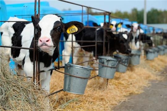 В отрасли животноводства Янтиковского района подведены итоги работы 10 месяцев текущего года