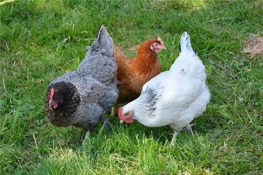 Янтиковские кооператоры - лидеры продаж птицы