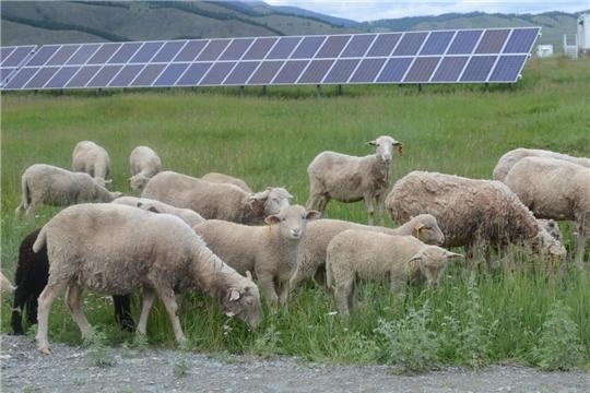 На территории солнечной электростанции на Алтае организован выпас горных овец