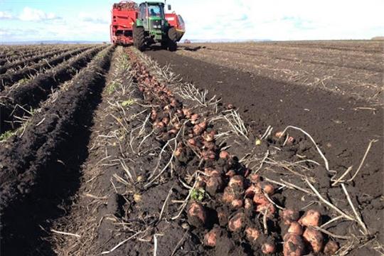 В хозяйствах Шемуршинского района  продолжается уборка картофеля