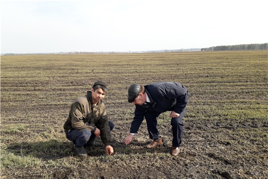 В Шумерлинском районе приступили к подкормке озимых зерновых культур.