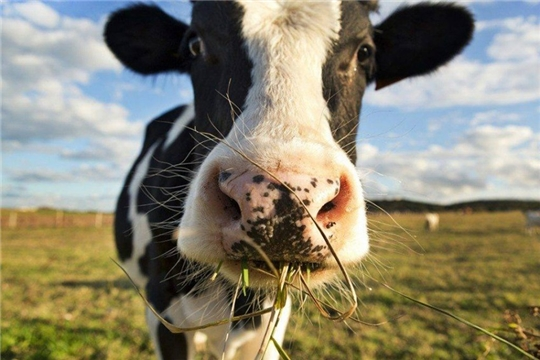 Жителям Шумерлинского района на содержание коров уже выплатили более 2,3 млн. руб.