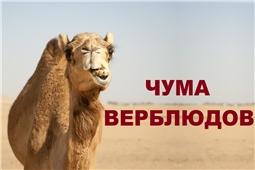 Чума верблюдов